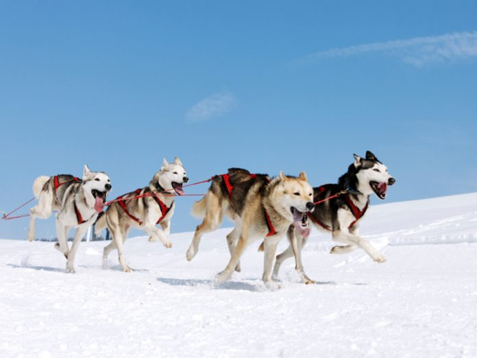 Team of Huskies Dog Sledding in Washington