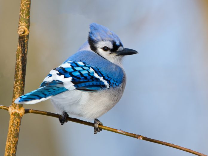 Bluejay Spotted at the Leavenworth Spring Bird Fest