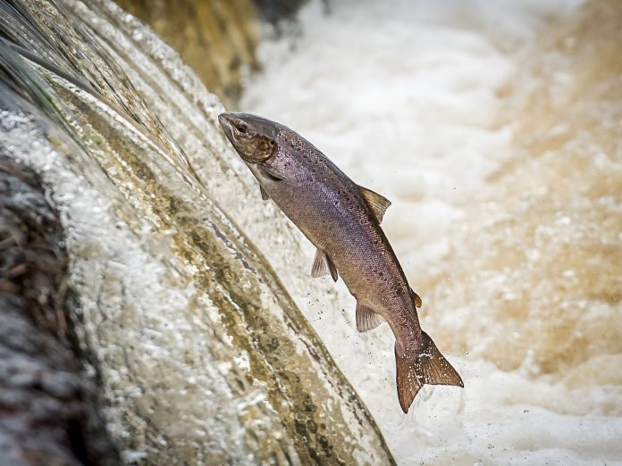 salmon jumping in river